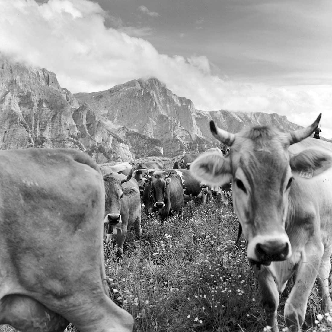 Kühe vor dem Calanda